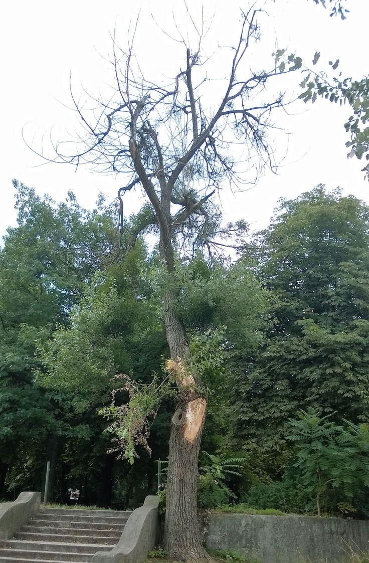 Haldokló nyárfa