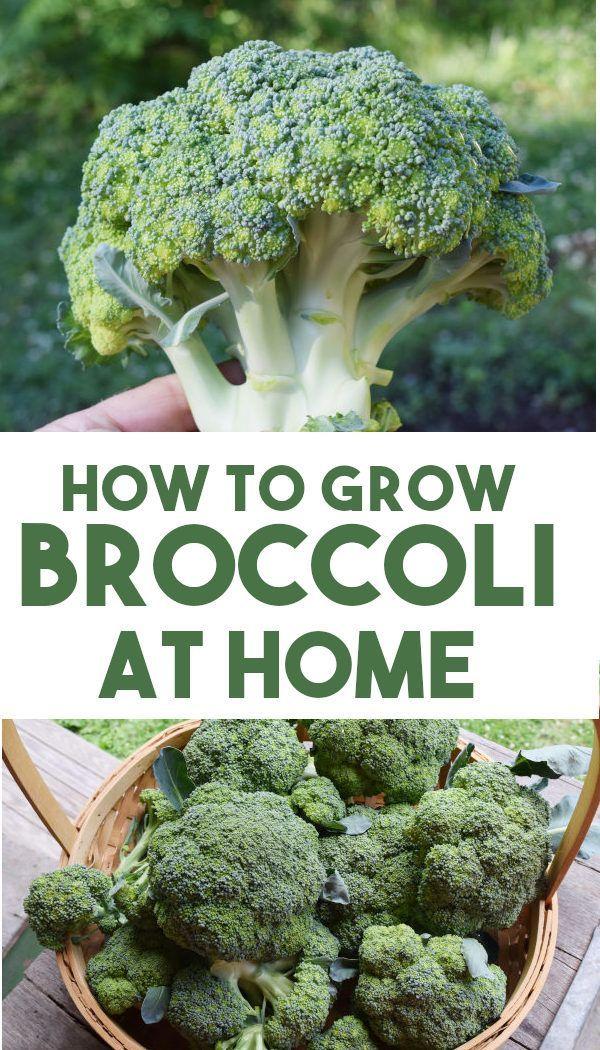 How To Grow Broccoli Easy Beginners Guide Growing Broccoli