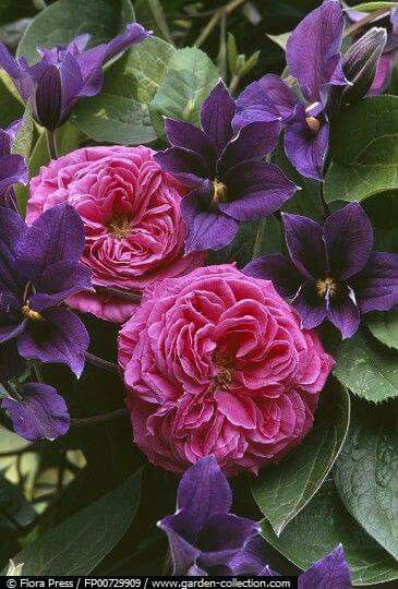 Rest your weary head said Clematis to Rose.
