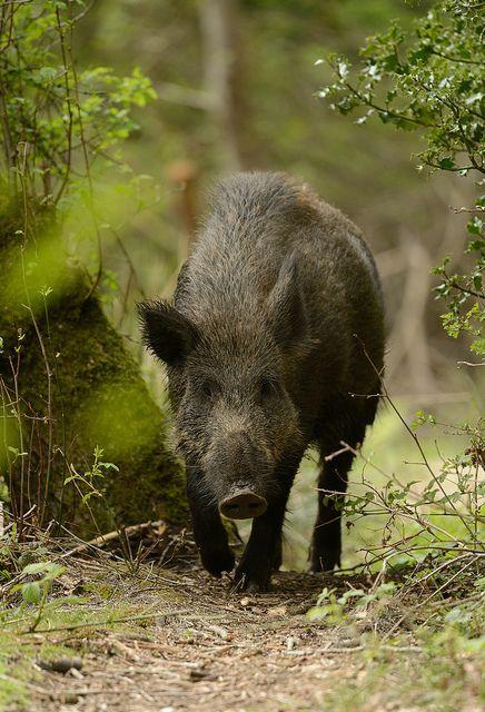 Wild Swamp Hog