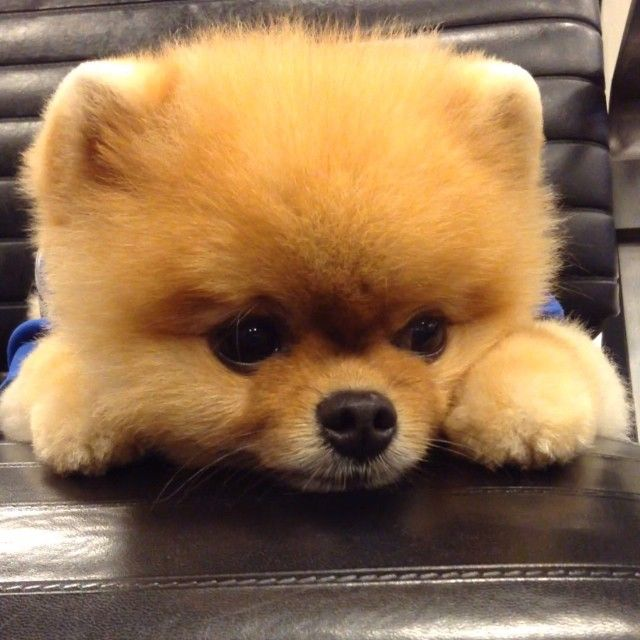 Jiff (Instagram: @jiffpom) is nominated for a World Dog Award! See if he wins on Thursday, January 14, 2016 on The CW.