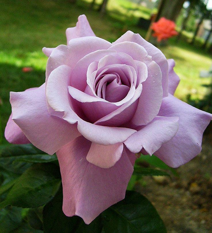 Charles De Gualle ~ Hybrid Tea Rose