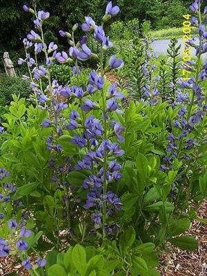Baptisia australis - How to Grow and Care for False or Wild Blue Indigo: Baptisia australis blooms for several weeks in early to mid-summer.