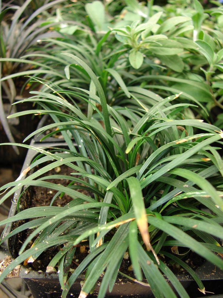 Texasgress, Ohpiopogon japonicus, Liliaceae Liljefamilien, SNITT