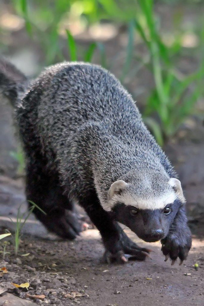 """funkysafari: """" Greater grison by Wandering Panda """" The Greater grison (Galictis vittata), is a species of mustelid native to South and Central America. Other mustelids include the otter, badger, weasel, marten, ferret, stoat, mink and wolverine."""