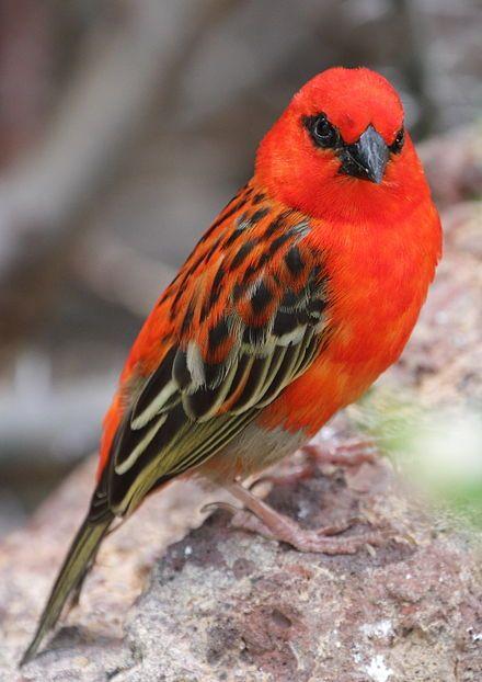 Red fody--Foudia madagascariensis