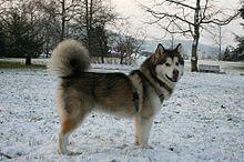 Malamute de l'Alaska — Wikipédia