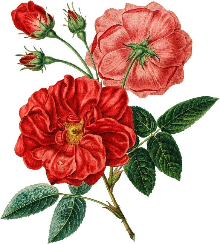 Red Rose Vintage Botanical Transparent Image