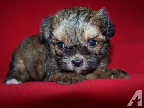 Shih Tzu Poodle Mix Puppies Highland Ca Pennysaverusa M5xeu Cute