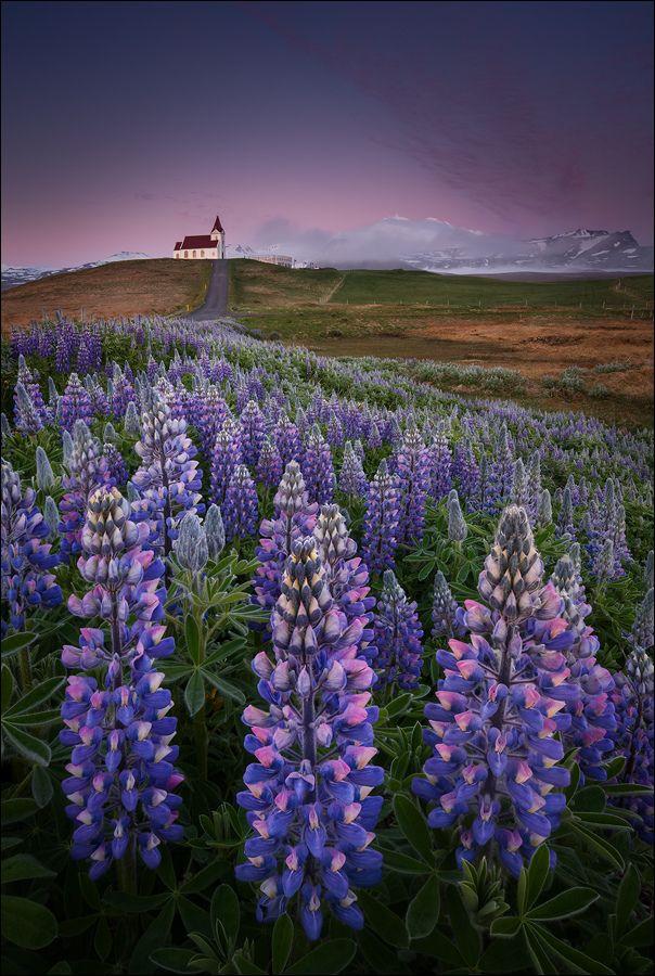 [ … wildflowers ]  von D-P Photography Snæfellsnes, Island