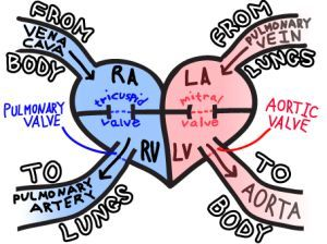 Easy way to remember blood flow through the heart cardio: