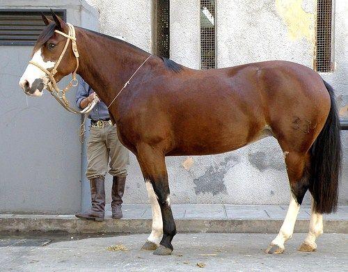 venezuelan criollo horses - - Yahoo Search Results