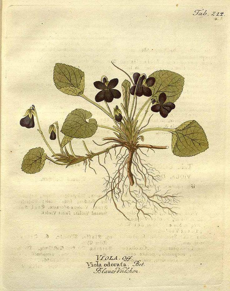 ニオイスミレ Viola odorata L. sweet violet Vietz (1804)