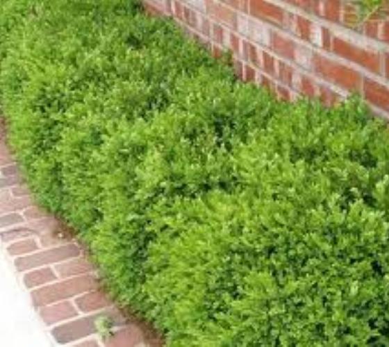Bush ideas ... Wintergreen Korean Boxwood ( Buxus )