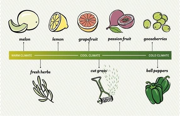 Sauvignon Blanc aroma/flavor chart