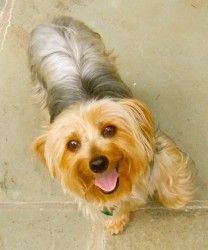 Sweetie is an adoptable Yorkshire Terrier Yorkie Dog in Crompond, NY. I'm Sweetie! I am a beautiful 7 year old 10 lb. Yorkshire Terrier, who came into rescue from a breeder. I walk on a leash, am a go...