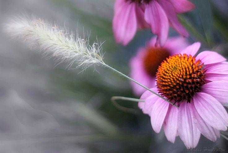 purple cornflower echinacea purpurea