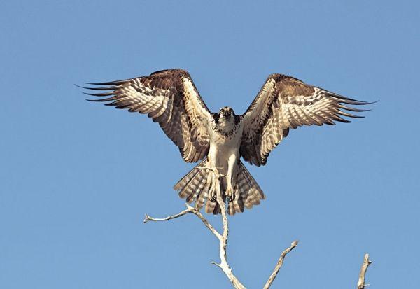 30 best osprey images on pinterest design tattoos hawk for Fish hawk atlanta