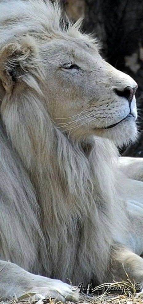 White lion, Letsatsi, at the Rhino and Lion Nature Reserve in Gauteng, South Africa • photo: Arno Meintjes on Flickr