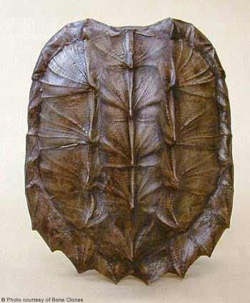 Alligator Snapping Turtle Shell Replica