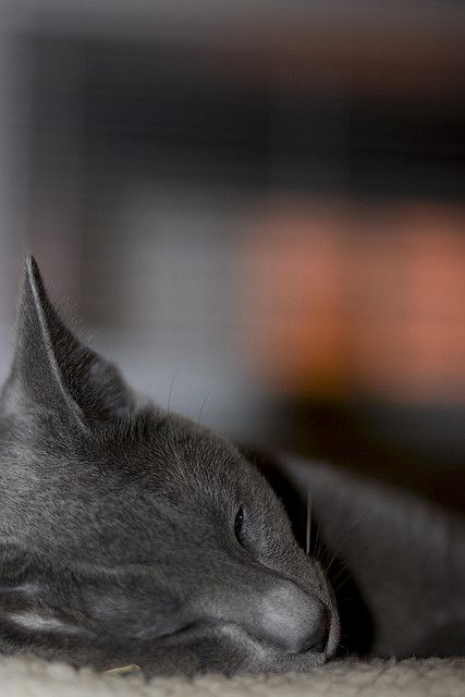 I had a kitty like this once.  Her name was Shadow.  She was lovely. Russian Blue cat