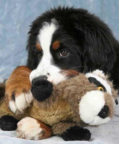 Best Bernese Mountain Dog Chubby Adorable Dog - 4c3ecba87d3c519d6c9fe918e819533a--kinds-of-dogs-hot-dogs  Pic_479112  .jpg
