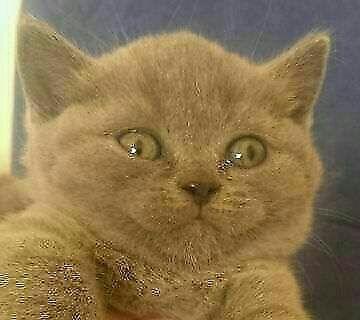 BKH Babys in Oldenburg ab Mitte September umzugsbereit in Niedersachsen - Bad Zwischenahn   Britisch Kurzhaar Katzenbabys kaufen   eBay Kleinanzeigen