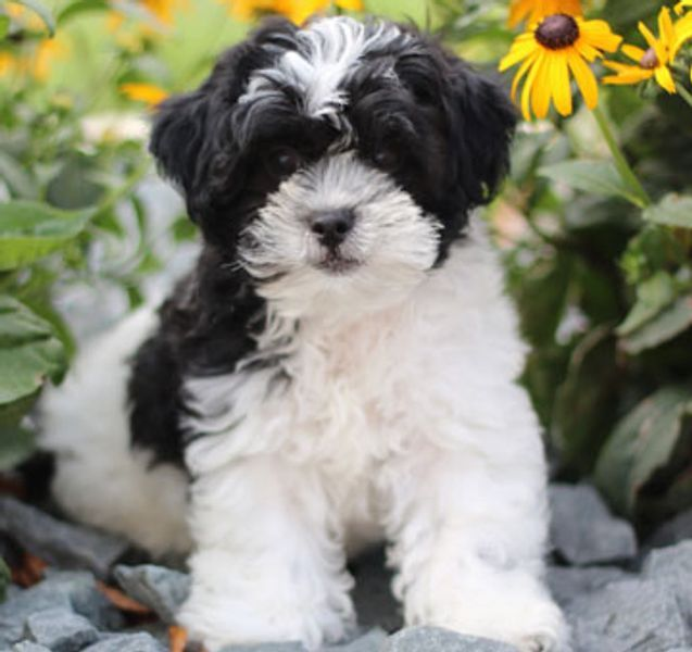 Home Page For Timbercreek Puppies Shihpoo Puppies For Sale Timbercreek Puppies For Sale Shichon Teddybear Pup In 2020 Poodle Mix Puppies Shichon Puppies Poodle Mix