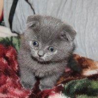 #dogalize Gatto persiano grigio, tutte le caratteristiche #dogs #cats #pets