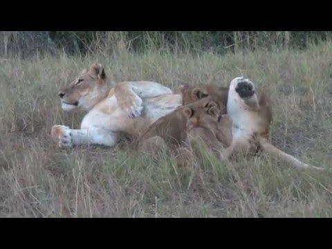 Жизнь львов. Один день из жизни львов.