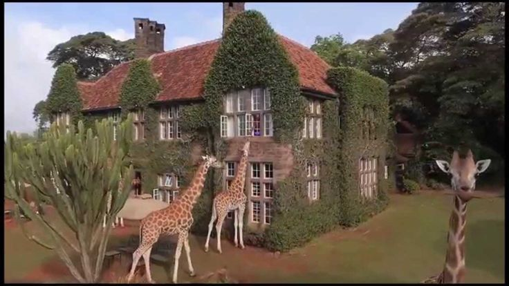 Giraffe Manor 2015 This is definitely on my bucket list! What could more amazing than sharing your breakfast with an endangered Rothschild Giraffe!