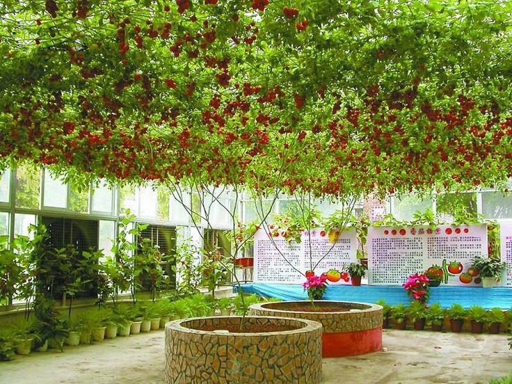 "The ""Octopus"" Tomato Tree, WOW!!! ...  Grows to 13 feet, 40-50 square meters. Record harvest – 14 000 tomatoes, weighing 1500 kg (3000 lbs.). It is normally held up by a large trellis."