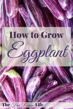 Eggplant can be a fickle plant to grow. Read all about growing eggplant and how to get the best eggplant harvest from your garden this year!
