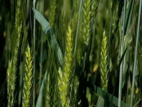 Время срезать пшеницу для зимних композиций. - YouTube