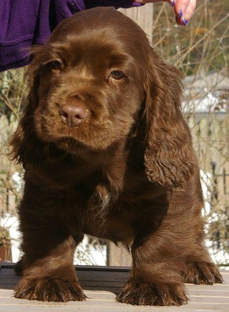 sussex spaniel puppy...  what a cute puppy.