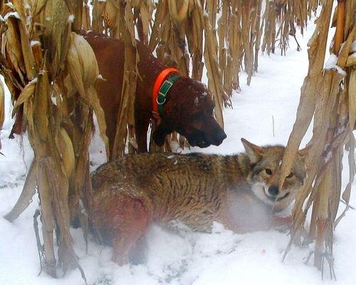 Un cacciatore spara e ferisce gravemente un coyote per permettere al suo cane da caccia di finirlo. Questo NON E' sport. Questa NON E' civiltà.    Questo NON E' accettabile.    Fonte: http://coyoteinfo.typepad.com/photos/cruelty_in_the_woods/_coyotespic049a.html