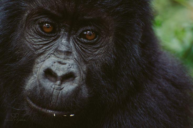 Uganda, Gorilla, trekking