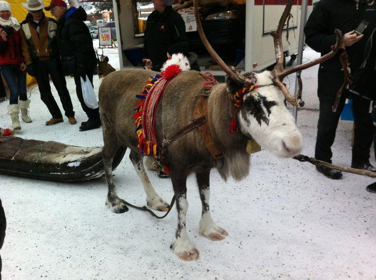 Rein in the Jokkmokk market