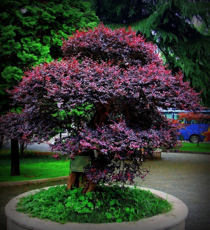 168 best images about flowering trees colorful grass for No maintenance flowering shrubs