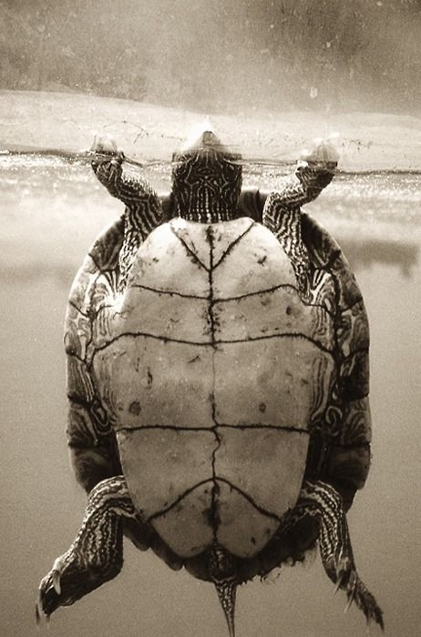 Turtle's Plastron Photography by Henry Horenstein