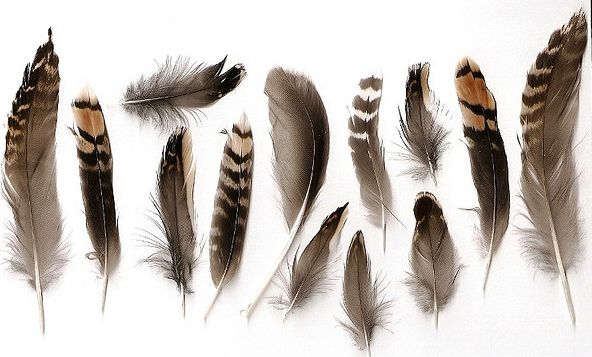 Different bird feathers - photo#40