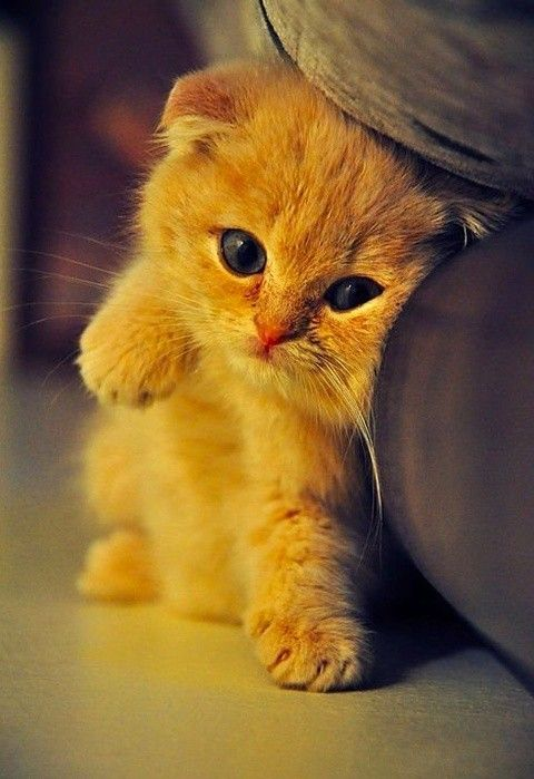 Scottish fold kitty. :): Kitty Cat, So Cute, Cute Kitty, Baby Kittens, Cutest Kittens, Scottish Folding Kittens, Orange Kittens, Cute Kittens, Baby Cat