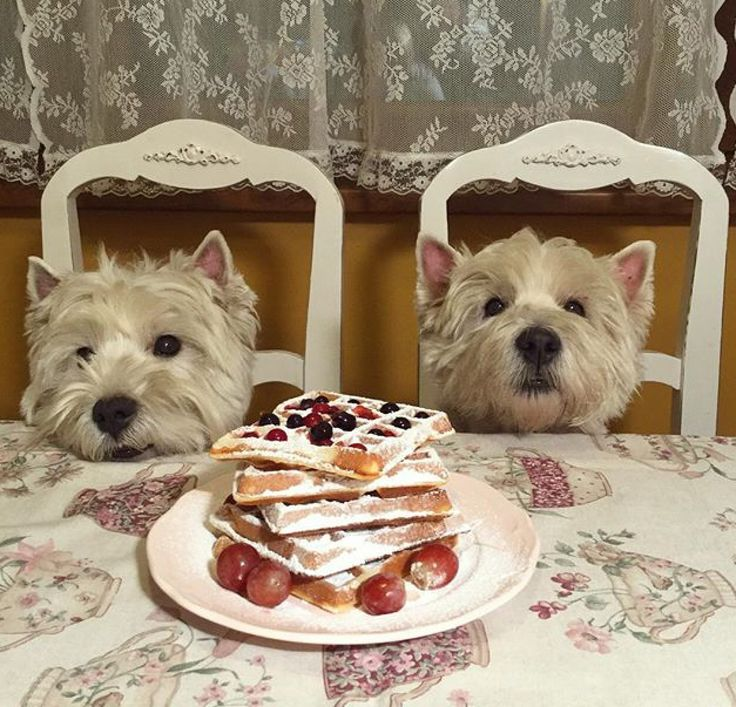 Haha the best brunch guests are Westies!