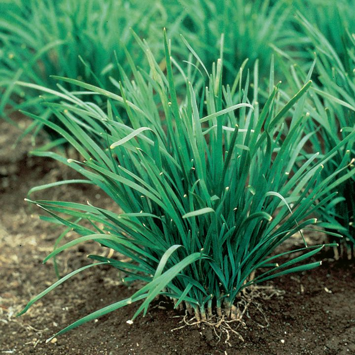 photos of garlic chives   Home Garden Herbs All Herb Seeds Garlic Chives Seeds