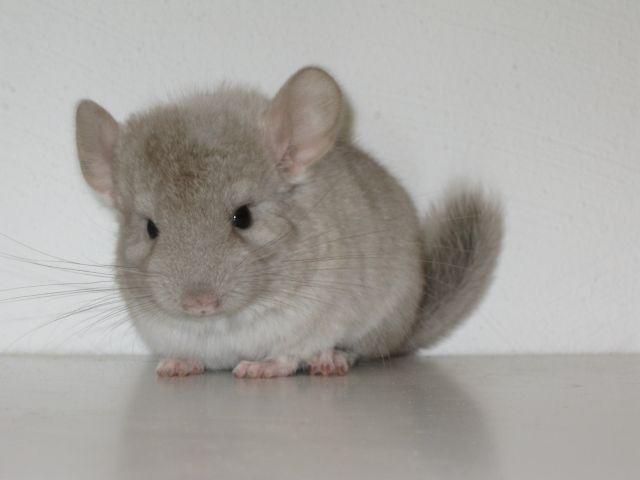 Chinchilla gris. Es un roedor que mide 25 cm. de longitud y pesa de 0,5-0,7 Kg. Es nocturno y gregario, es decir, que vive en grupos. Es herbívoro pero le daremos pienso para chinchilla. Una vez a la semana podemos darle fruta o verdura, pero nunca lechuga. Necesitamos una jaula amplia, con refugio para dormir, bandeja higiénica (2-3 veces a la semana durante unos 15-20 min.), bebedero, dispensador de pienso, rueda de ejercicio y ramas o troncos para que trepe. Fuente: botanica-online.com