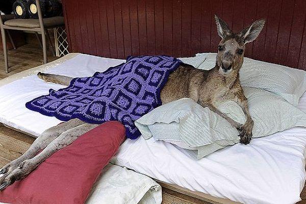 """Steeds meer mensen houden een kangoeroe in de slaapkamer. De buideldieren staan bekend om hun tederheid en krachtige achterpoten. Niet iedereen kan de verleidingen van een kangoeroe weerstaan. Toch zijn kangoeroes geen geschikte bedpartners, concluderen biologen na onderzoek. Alleen al in Nederland leven zo'n tweeduizend kangoeroes in slaapkamers. """"Het zijn charmeurs. Ze kunnen je helemaal inpalmen met hun gladde praatjes"""", [...]"""