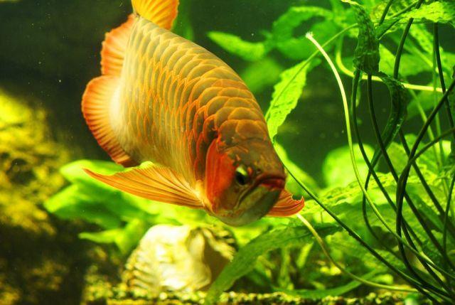 Арована - Портрет любимой рыбы - Галерея - Пресноводный аквариум и его обитатели - форум Аква Лого