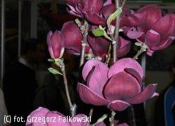 magnolia 'Genie' - Magnolia 'Genie' PBR | Katalog roślin - e-katalog roślin