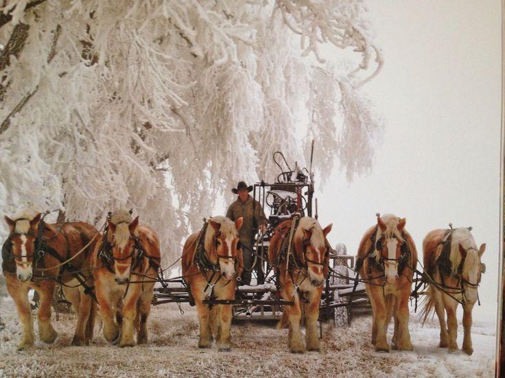 .Belgium Draft Horses...awesome!                                                                                                                                                      More
