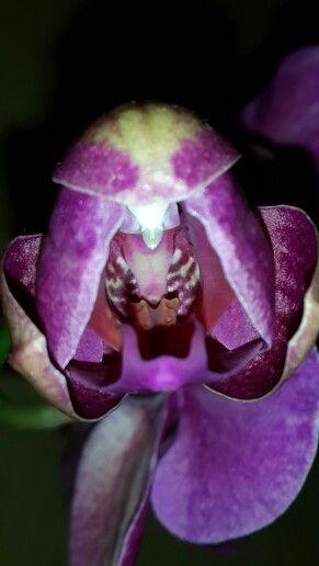 Пробуждения цветка фаленопсиса